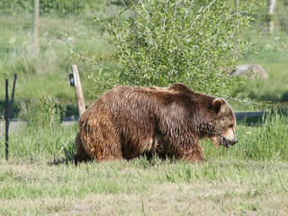 Grizzly Bear at Yellowstone Bear World © cbrown1023