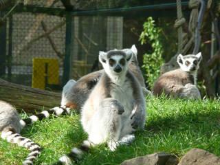 Die Kattas im Zoo Saarbrücken © MoonSoleil