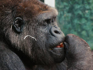 Gorilla im Tierpark Hellabrunn © Christoph Schmidt